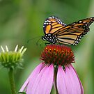 softly landing on an echinacea flower by Clare Colins