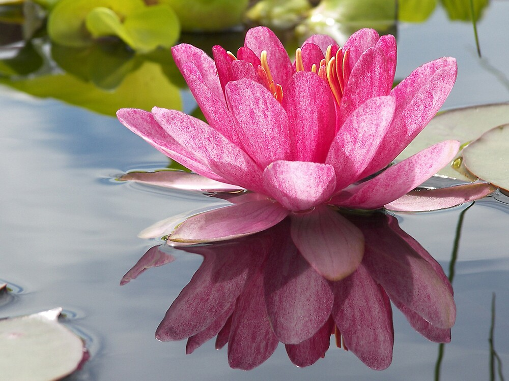 A WATER LILY by MsLiz
