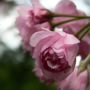 Pink Tree Blossoms by KCGraphics