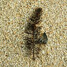 Seaweed on sand by Caro