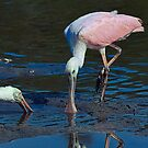 Spoonbill and Reflection by TJ Baccari Photography