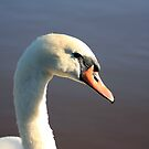 swan . by Jon Baxter