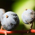 Oregon Grape by Jonah Gautier