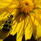 Cucumber beetle by Jonah Gautier