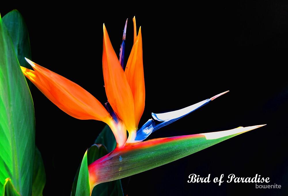 Strelitzia reginae, by bowenite