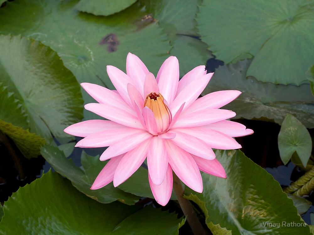 Lotus by Vinay Rathore