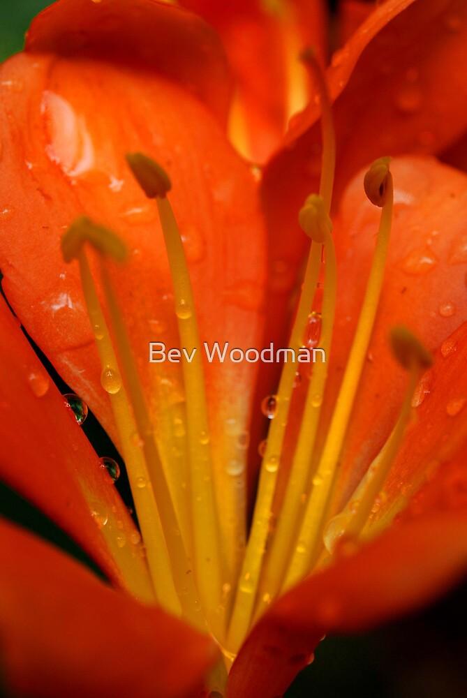 Clivia Rain Drops by Bev Woodman