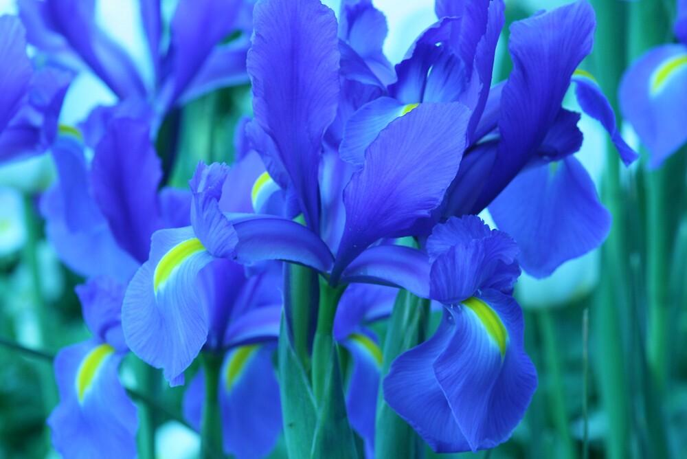 Iris by Lidia Sweeney