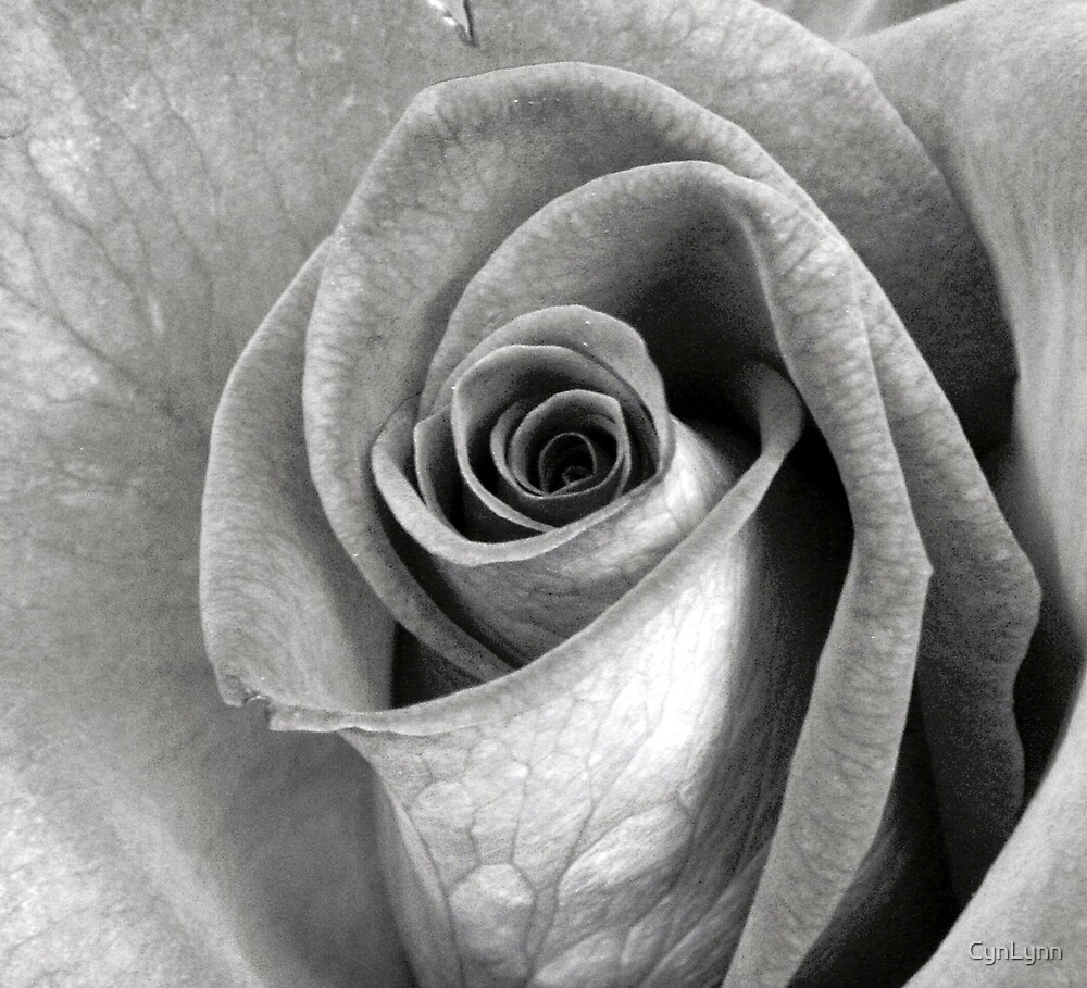 Black and White Rose by CynLynn
