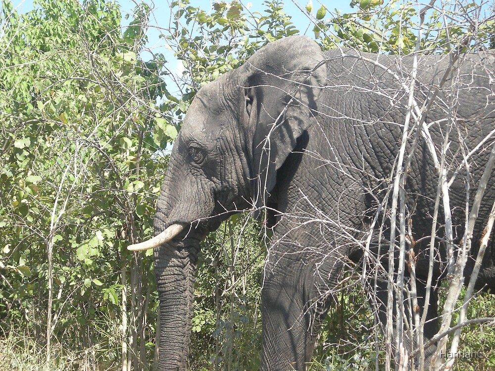 Elephant @ the Chobe National Park in Botswana by HannahC