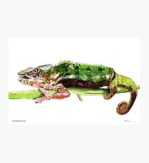 Panther Chameleon hanging on a branch Photographic Print
