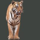 Male Bengal Tiger by Sheila Smith