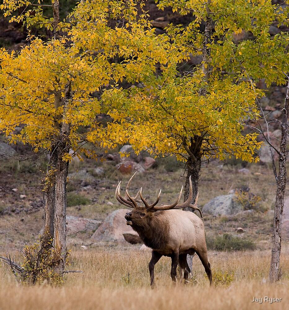 Fall Elk by Jay Ryser