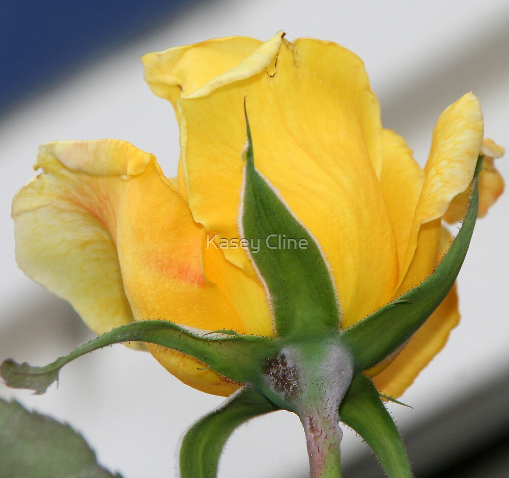 Yellow Rose by Kasey Cline
