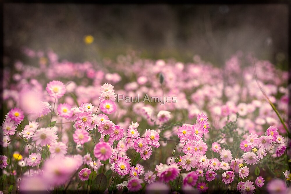 Pink Everlastings by Paul Amyes
