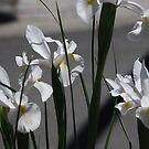 Dutch Iris by Catherine Davis