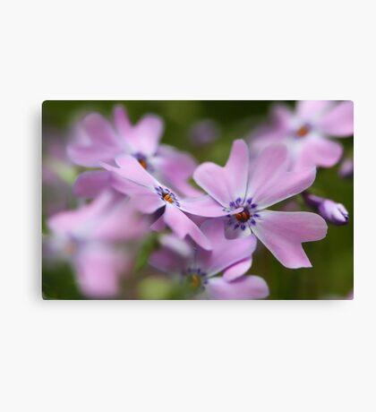 Pink Spring Phlox Canvas Print