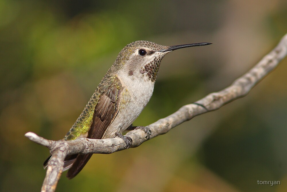 Anna's Hummingbird Female by tomryan