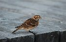 Lapland Longspur - Sparrow by Lynda   McDonald