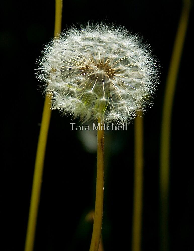 Dandelion by Tara Mitchell