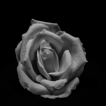 Monochrome rose by themonastery