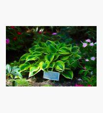 Agavaceae Hosta X Wide Brim Photographic Print