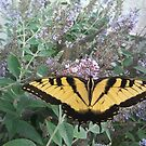 Papilio glaucus by featheredzebra