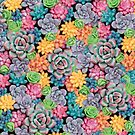 Candy Colored Succulents Plants by Stephanie KILGAST