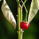 Last Little Pepper by Lolabud