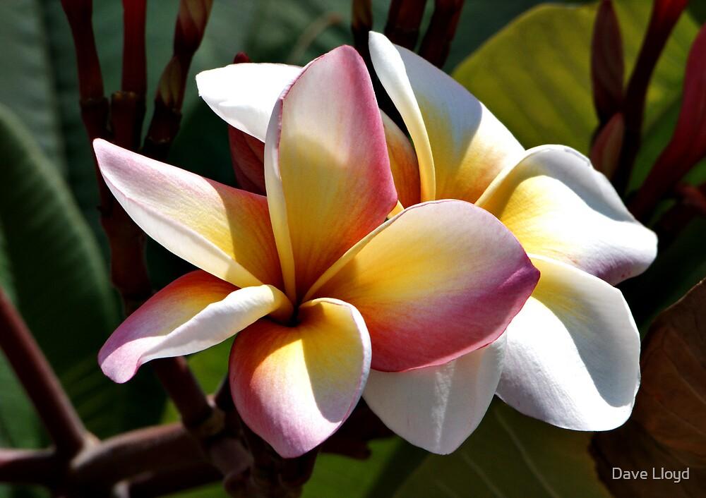 Sun Kissed Frangipani Too by Dave Lloyd