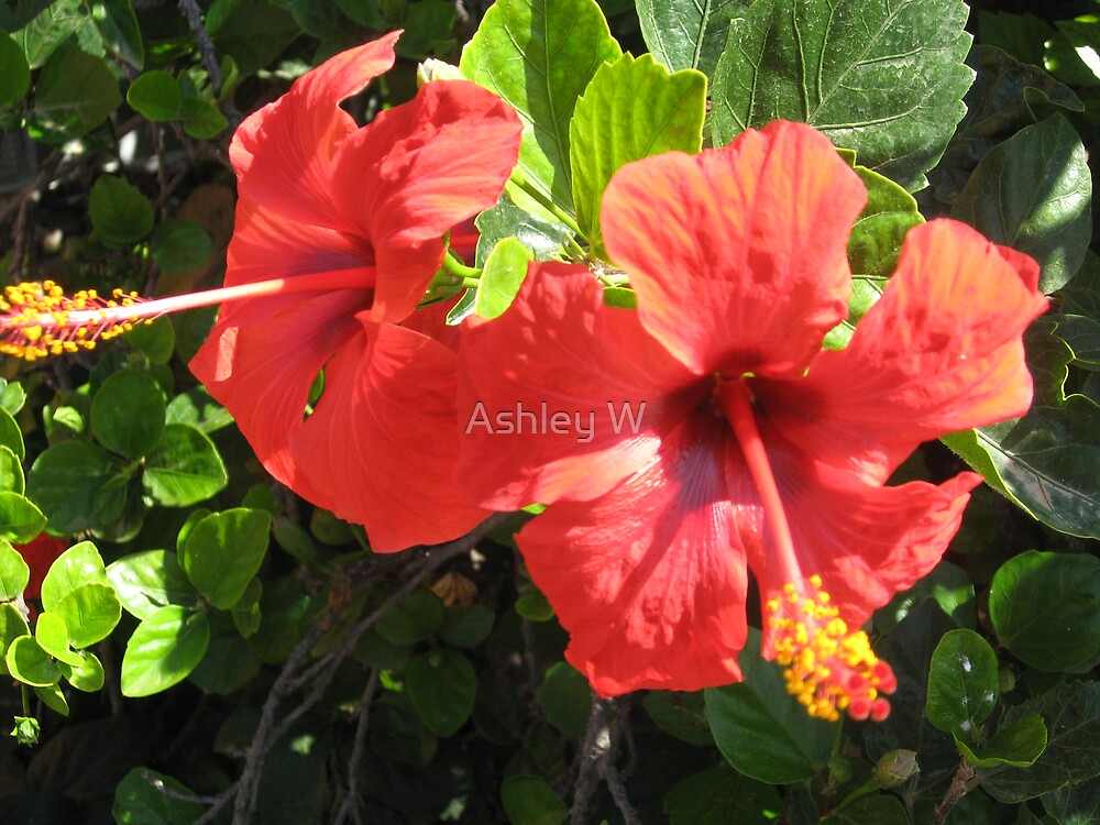 Hibiscus by Ashley W