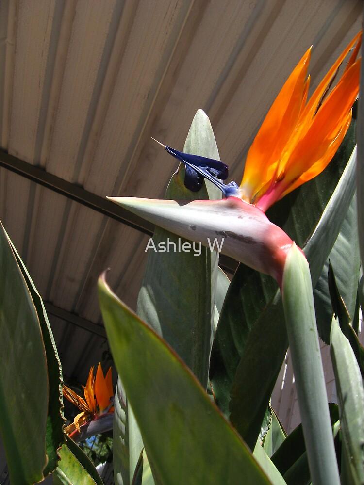 Bird of Paradise by Ashley W