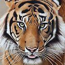 Tiger by mbillustrations