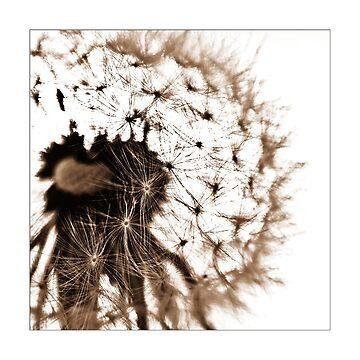 Dandelion by Falko-Follert