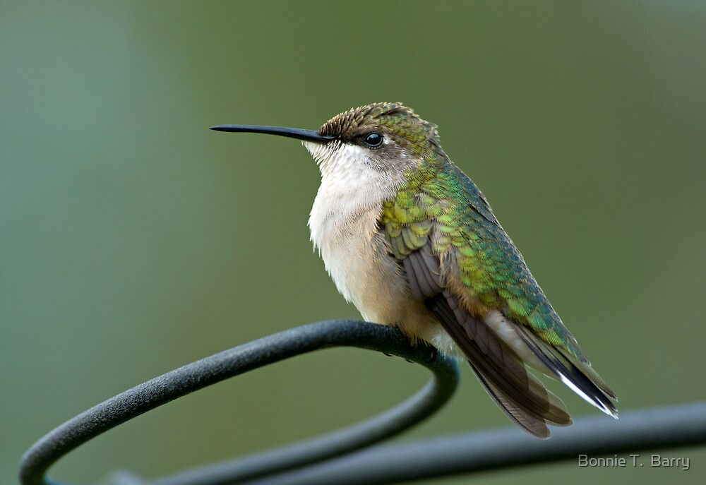 Hummer's Reverie by Bonnie T.  Barry