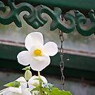 White Tulip by Sunil Bhardwaj