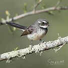 Grey Fantail by Steve Randall
