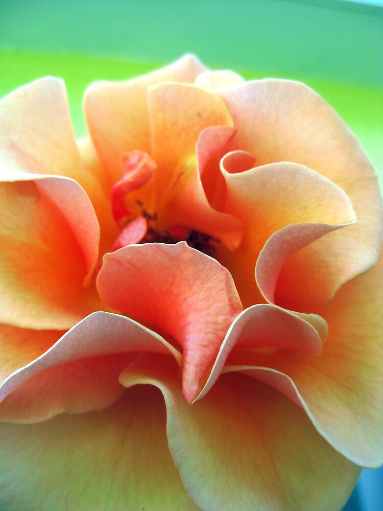 Yellow Rose by amira