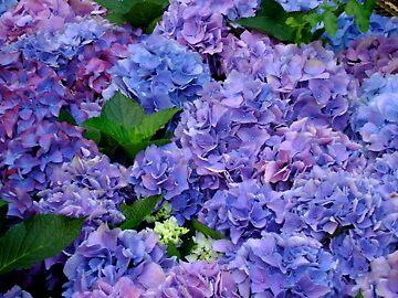 Blue Hydrangeas by jessicaasu6