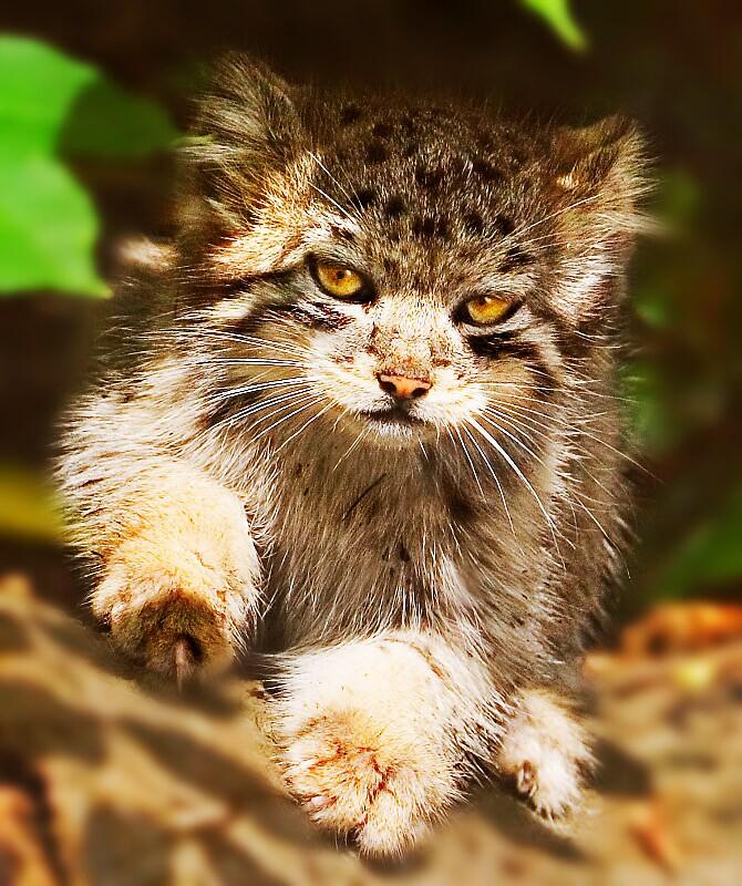 Pallas' Cat by milton