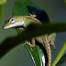Anolis lizard peeking from behind the leaf by TJ Baccari Photography