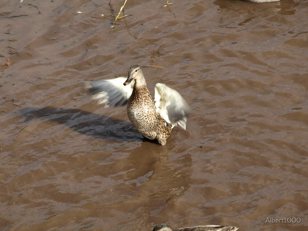 Female mallard duck in action. by Albert1000