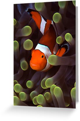 Clownfish by Carlos Villoch