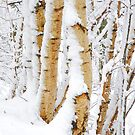 Snow Covered Birch Trees in Winter by John Kelly Photography (UK)