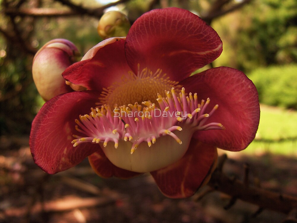 Cannon Ball Tree Flower(Couroupita guianensis)   by Sharon Davey