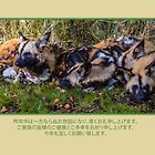 Japanese Zodiac 2018. African wild dogs resting by frommyhorizon