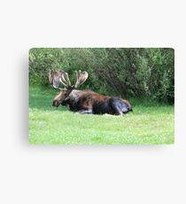 Bull Moose Canvas Print