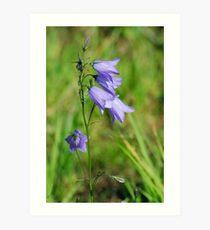 Summer Flowering Harebell Wild Flower Art Print