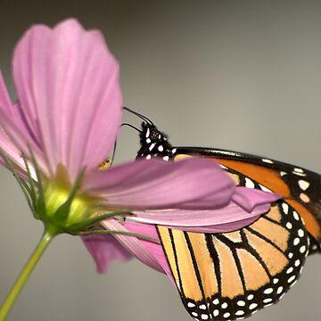 Butterfly by sherryk