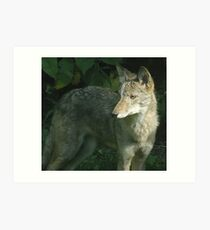 Coyote in dapple light Art Print